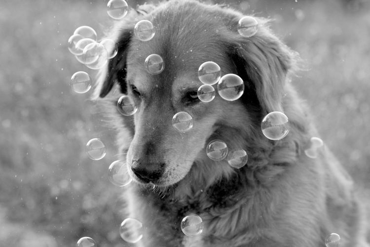 A dog with bubbles Cute Fur Bubbles Outdoor Dog Blackandwhite Nature Trip Animal Dogs Photography Pets Water Dog Portrait Bubble Close-up Retriever Golden Retriever Animal Hair