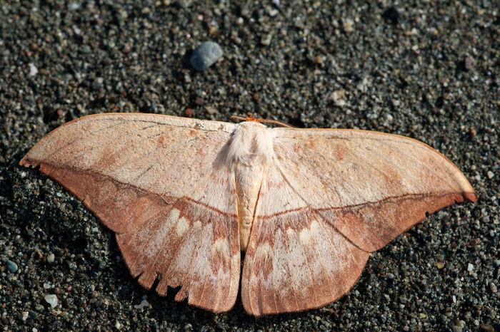 Leaf-like camouflaged moth on a beach in Corcovado national park Beach Camouflage Corcovado National Park Costa Rica Insect Leaf Mimicry Moth Nature Outdoors Sand Wildlife Wildlife & Nature