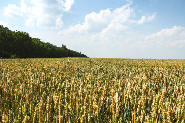Abundance Agriculture Beauty In Nature Cereal Plant Cloud Cloud - Sky Crop  Cultivated Land Day Farm Field Growth Horizon Over Land Idyllic Landscape Nature Outdoors Plant Plantation Rural Scene Scenics Sky Tranquil Scene Tranquility Wheat