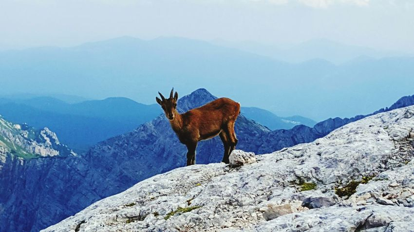 One Animal Animal Animal Wildlife Beauty In Nature Mountain No People Nature Animal Themes Day Nature Reserve Outdoors Beautiful View Triglav Climbing Outside Sky Capricorn Brown