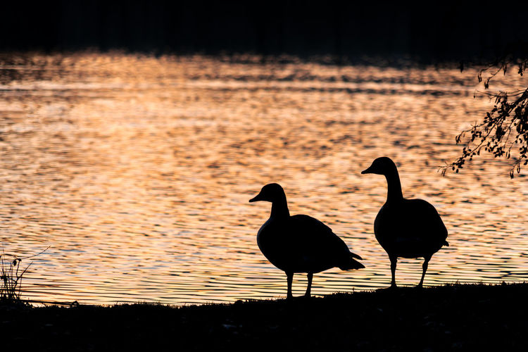 Silhouette birds on lake during sunset