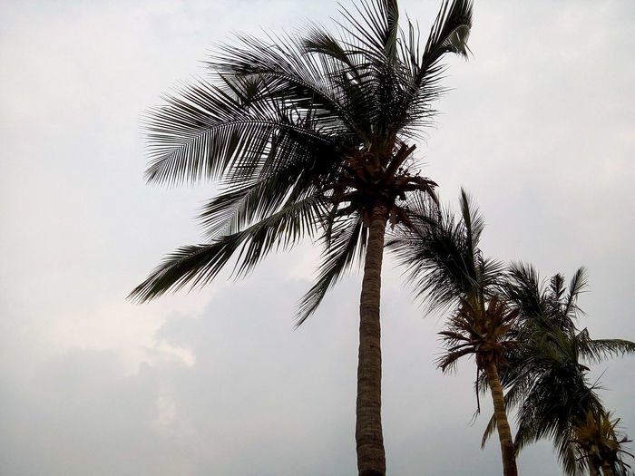 Coconut Tree Stormy Weather Coconut Trees Trees And Sky Storm Nature_collection Nature Photography Weather Trees In Line Fine Art Photography