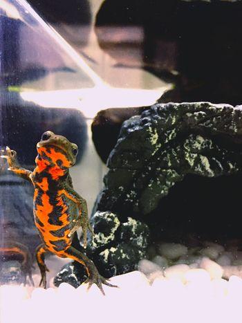 アカハライモリ 両生類 Newt Terrarium Japanese Fire Belly Newt Amphibians