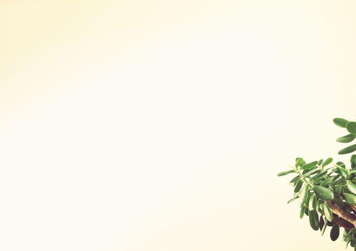Money Tree Jade Plant