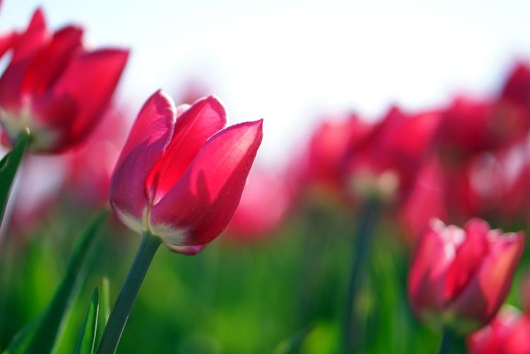Close-up of red tulip flower on field