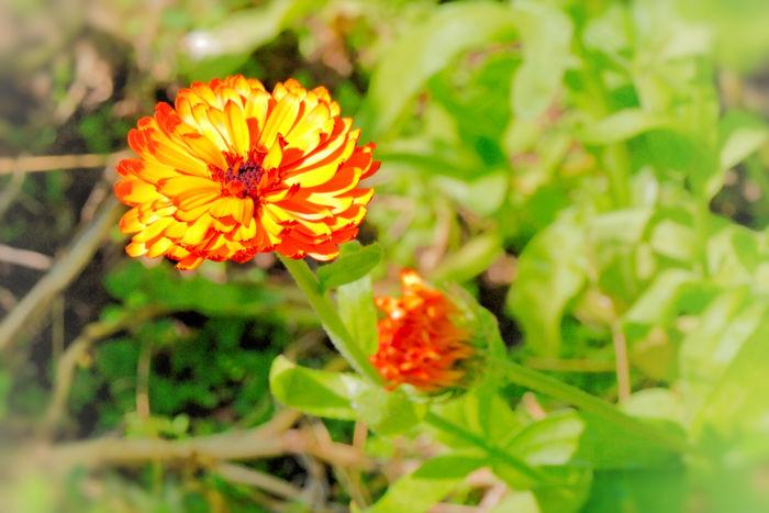 Gefüllte Ringelblume Bauerngarten Calendula Officinalis Ringelblume Ringelblumenbluete