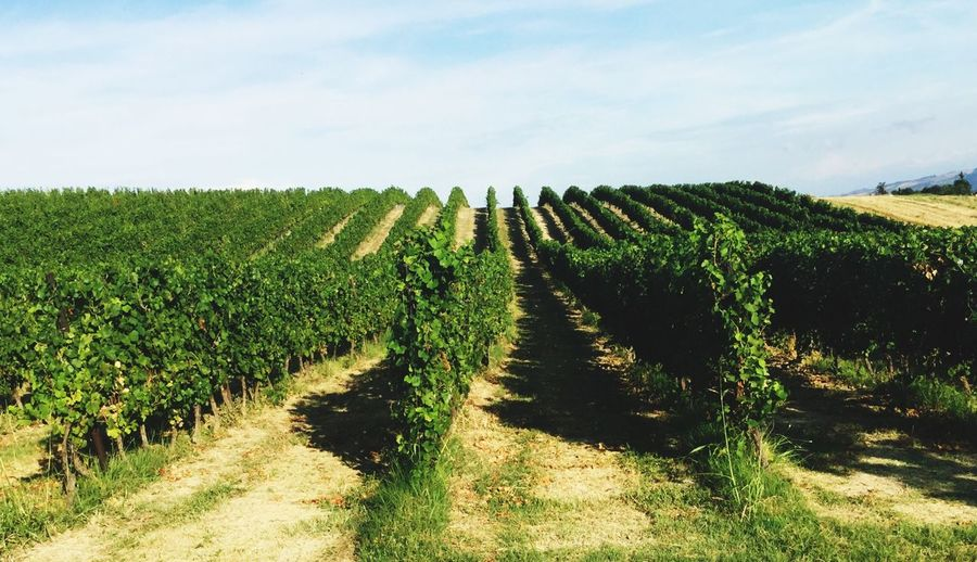 Vigneti collinari Plant Sky Field Growth Agriculture Landscape Land Vineyard Beauty In Nature Tranquil Scene