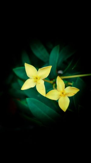 Green Color Leaf Flower Black Background No People Close-up Night Indoors  Nature Freshness Frangipani Flower Head Samsung Background Black Phone Background Background Black Background Backgrounds Iphone Background Beauty In Nature Plant Part Nature Autumn Green Color Yellow
