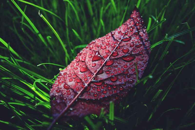 Plant Nature Leaf Close-up Growth Plant Part Beauty In Nature Fragility Vulnerability  Wet Water Day Focus On Foreground Outdoors Green Color No People Dew RainDrop Drop Red