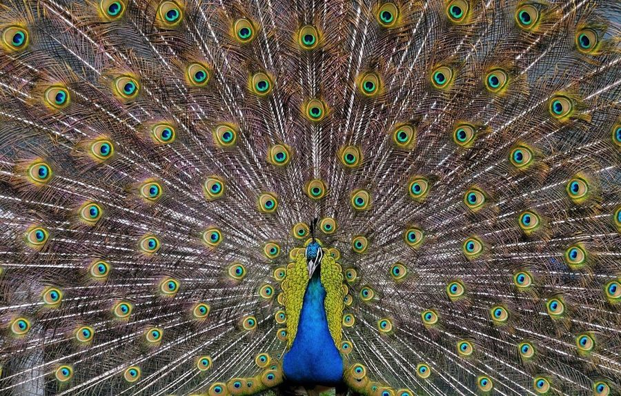 Peacock Fanned Out One Animal Multi Colored Peacock Feather Bird Animal Wildlife Animals In The Wild Beauty In Nature Animal Themes No People Outdoors Nature Day Backgrounds Close-up