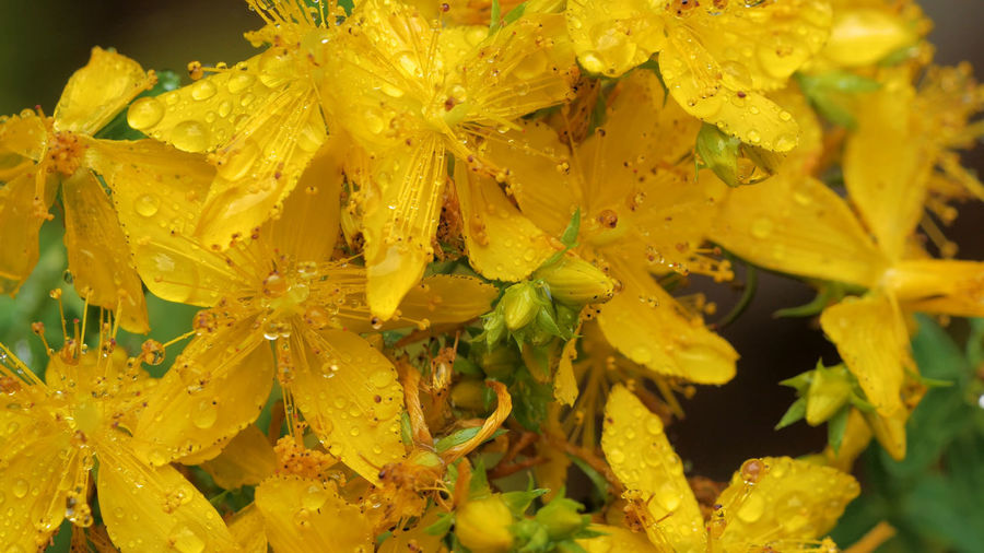 Close-up of wet yellow flowering plants during rainy season