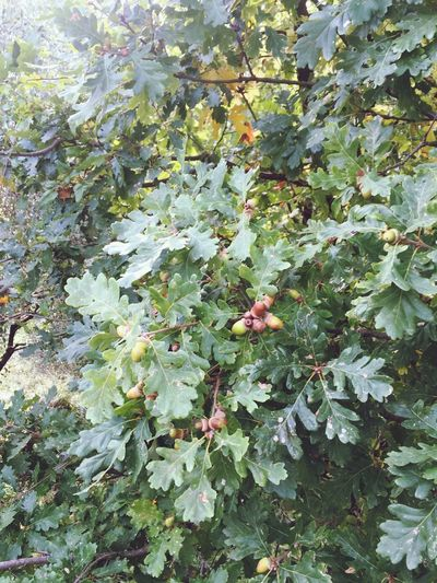 Maturano le Ghiande per la Gioia degli Scoiattoli Autumn Fruits EyeEm Nature Lover Beautiful Nature Autumn 2015
