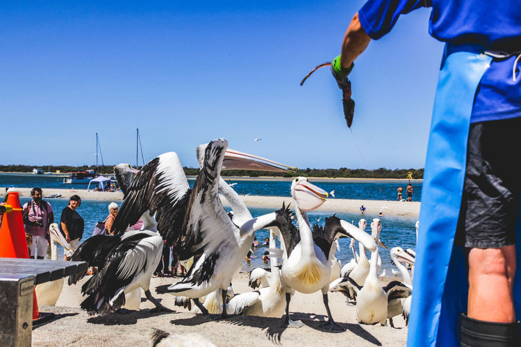 pelicans at a local beach waiting for a regular feed by a local fish market Vertebrate Animal Wildlife Group Of Animals Animals In The Wild Bird Water Large Group Of Animals Flying Nature Sea Real People Sky Day Spread Wings Clear Sky Nautical Vessel Men Flock Of Birds Outdoors Pelican Pelicans