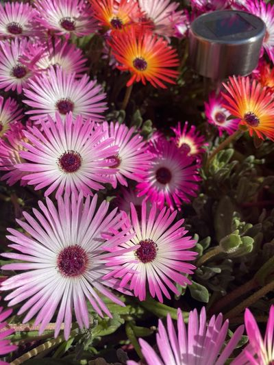 High angle view of pink daisy flowers