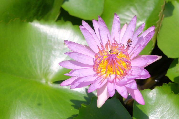 lotus in pond Insect Bloom Flora Lotus Pond Garden Park Nature Green Violet Pink Purple Bee Close Up Closeup Close-up Tree Plant Flower Head Flower Leaf Water Pink Color Purple Pollen Blossom Water Lily In Bloom