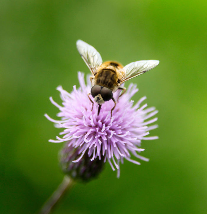 A busy Bee on a clover head. Fly Macro Photography Animal Wildlife Animals In The Wild Beauty In Nature Bee Close-up Flower Head Insect Insect Photography Pollination