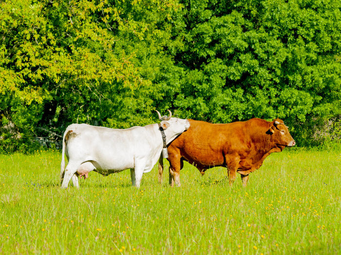 Bull Farm Life Farm Animals Grazing Livestock Pasture Animal Animal Themes Cattle Charolais Countryside Cow Cows Cows In A Field Domestic Animals Field Grass Grassland Green Color Limusine Livestock Mammal Meadow Nature Outdoors
