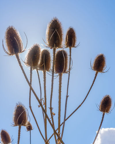 Backlit teasels captured at a local park in Suffolk, UK Teasels Backlit Backlit Plant Plant Low Angle View Nature Growth Beauty In Nature Plant Stem Sunlight Spiky Blue Sky Spring Textured  Texture Sky Flower Fragility