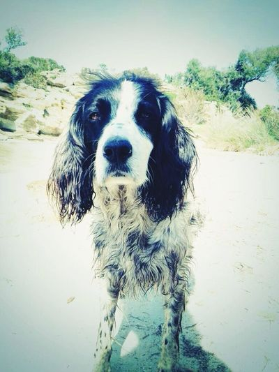 Dog English Setter Setter Anglais