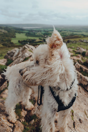 Cute white dog standing on top of the crook peak in mendip hills, england, uk, on a windy day.