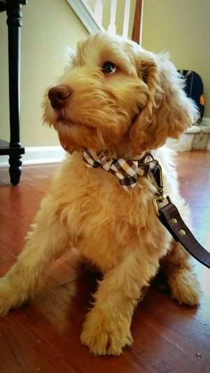 Aslan The Puppydog Bowtie Representing Labradoodle Labradoodlepuppy Labradoodlesofinstagram Dogeyes Human Eye Human Eyes Dogs Of EyeEm Dogoftheday Doglovers Hi! Taking Photos Cheese! That's Me Enjoying Life Puppy Love Hanging Out Puppy Eyes Home Sweet Home Home Goodboy