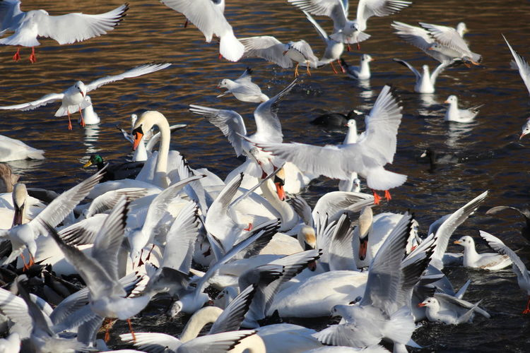 EyeEm Best Shots EyeEm Nature Lover EyeEmBestPics EyeEm Best Shots - Nature Beauty In Nature Wonders Of Nature Bird Spread Wings Swan Flying Water Lake Flapping Seagull Flock Of Birds Black-headed Gull Water Bird Large Group Of Animals Animal Wing White Swan Mute Swan Avian Mallard Duck