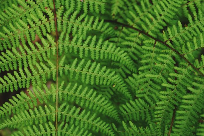 Ferns Pattern Pieces Leaves Delicate Beauty Forest Fiddleheads Summer Green Plants Growing MyPhotography Myperspective Theellijays Eyeemphotography Biggerphotography Nikonphotography EyeEm Gallery Colour Of Life Color Palette