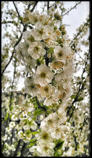 Primavera en Santiago De Compostela Spring Spring Flowers Flores Flores De Primavera Florece Flores Blancas Flores Brancas