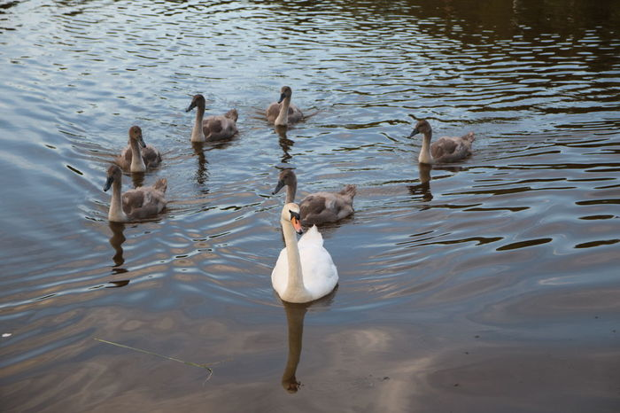 Animal Themes Animal Wildlife Animals In The Wild Bird Cygnet Cygnets Cygnets With Swan Day Lake Nature No People Outdoors Swan Swimming Togetherness Water Water Bird Waterfront Young Animal Young Bird