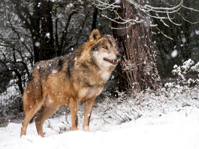 Adult male iberian wolf (Canis lupus signatus) in the snow in the forest in winter Adult Animal Canis Lupus Carnivorous EyeEmNewHere Eyes Forest Habitat Iberian Male Mammal Nature Portugal Predators Season  Signatus Snow SPAIN Spain♥ Timber Wild Wilderness Wildlife Winter Wolf