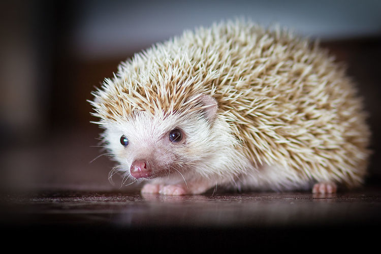 #African Hedgehog #Hedgehog #Pets #White #beautiful #cute #pet Pet Portraits Animal Themes Close-up Indoors  Nature