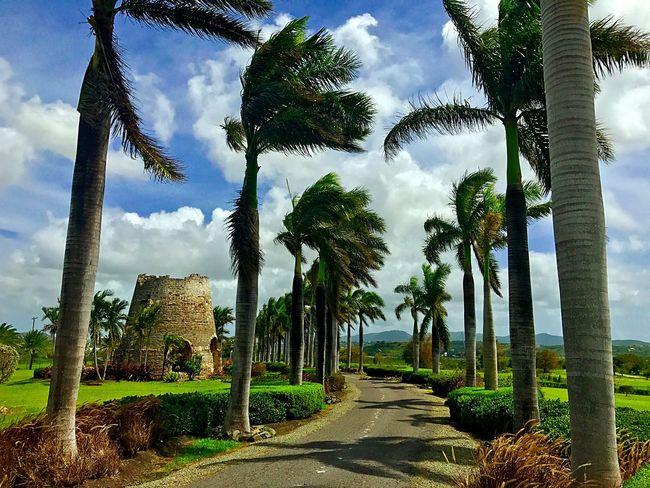 Tree Palm Tree Cloud - Sky Sky Growth The Way Forward Outdoors Day Green Color Nature Beauty In Nature No People Scenics Tree Trunk EyeEmBestPics On IPhone 7 EyeEmCaribbean EyeEmNewHere JeanneRotaMatthews Week On Eyeem