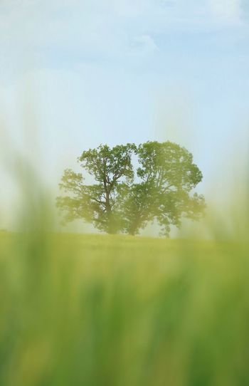 Tree Plant Growth Nature Beauty In Nature Sky Tranquility No People Green Color Day Environment Land Outdoors Tranquil Scene Forest Field Sunlight Scenics - Nature Pine Tree