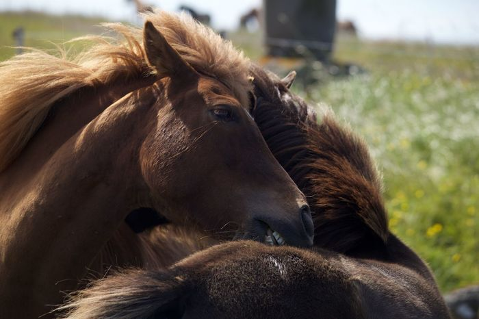Iceland Hugs Horses Pony Meadow Friends Two Is Better Than One Icelandic Horses Beauty In Nature Pet Portraits