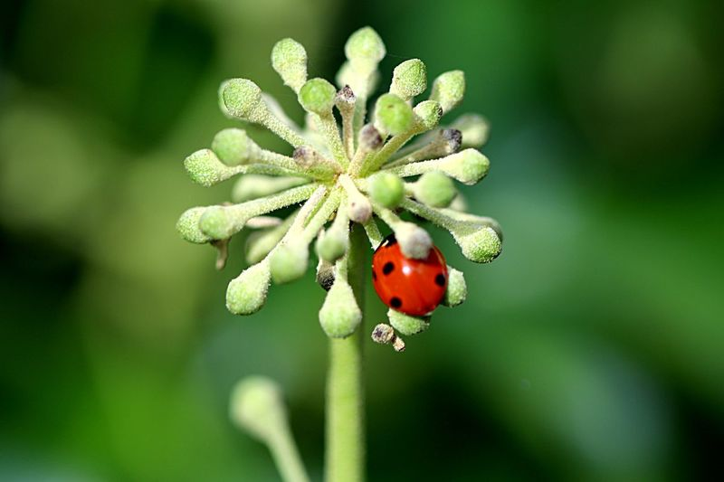 Ladybird Ladybug Plant Growth Close-up Flower Beauty In Nature Nature No People Bud Animal Themes Outdoors Animal Wildlife Insect Vulnerability  Green Color Freshness Focus On Foreground Flowering Plant Day Fragility
