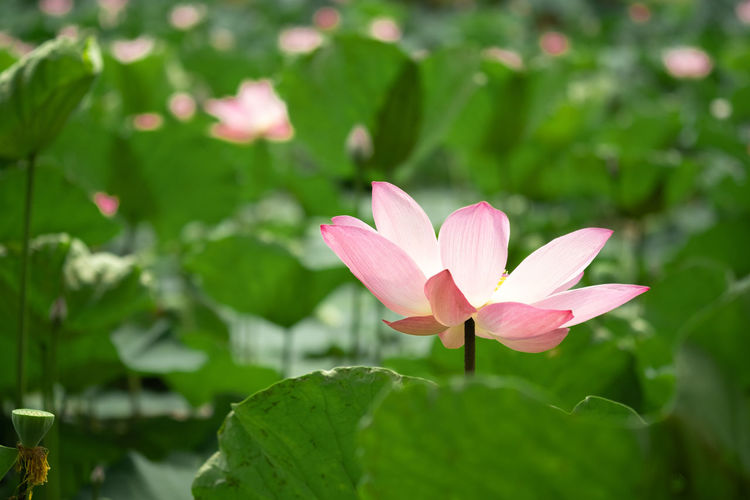 Flower Flowering Plant Plant Petal Vulnerability  Fragility Freshness Growth Beauty In Nature Leaf Plant Part Flower Head Pink Color Green Color Close-up Inflorescence Water Lily Nature Day Lily No People Outdoors Lotus Water Lily