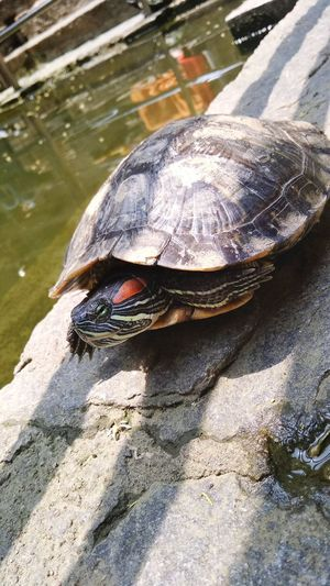 Tortoise Shell Water Reptile Turtle Sunlight Animal Themes
