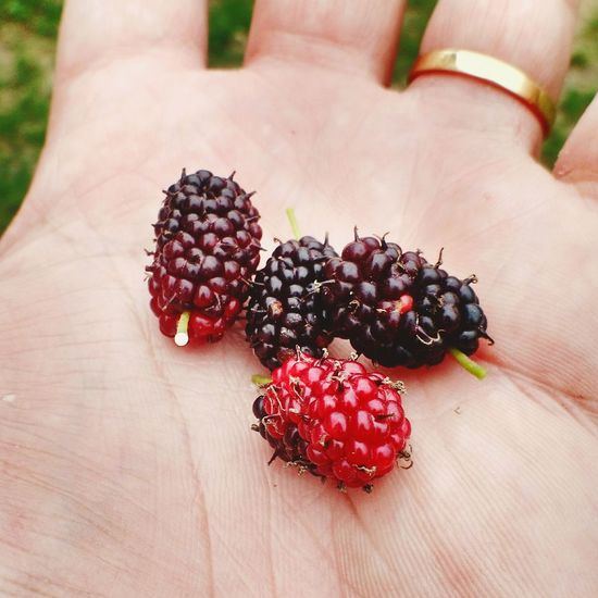 Cropped hand holding blackberries