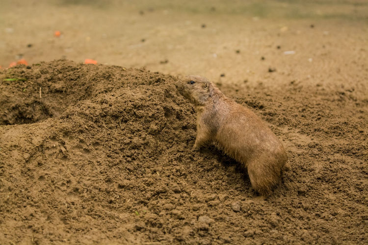 Animal Animal Themes Animal Wildlife Animals In The Wild Mammal One Animal Land No People Vertebrate Day Nature Brown Rodent Field Dirt Sand Outdoors Meerkat High Angle View Mud