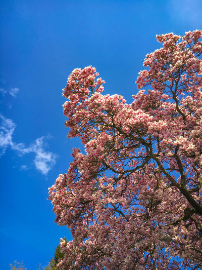 Beautiful magnolia tree in full bloom in front of a blue sky Beauty In Nature Low Angle View Flower Flowering Plant Plant Tree Blossom Sky Growth Fragility Springtime Nature Vulnerability  Branch Freshness Day Pink Color No People Blue Outdoors Spring Magnolia Magnolia Tree Season  Blue Sky