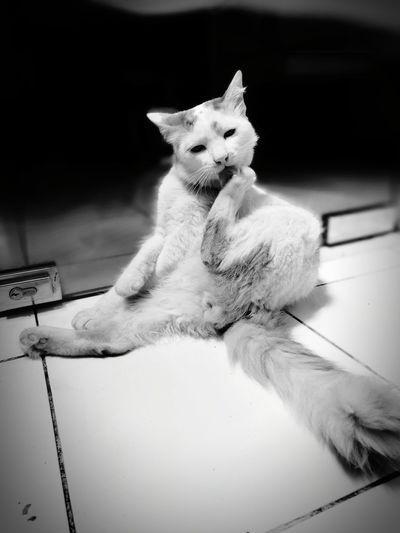 Domestic Cat Domestic Animals Feline Mammal Indoors  Pet Portraits