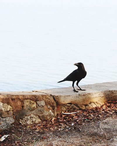 Low angle view of crow standing by lake