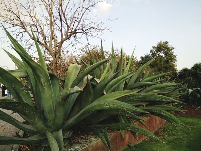 Maguey Cdmx Park Parque  Aire Aire Libre Maguey Planta Plant Beauty In Nature Leaf Outdoors Agriculture Day No People Freshness Beauty In Nature Tree Close-up