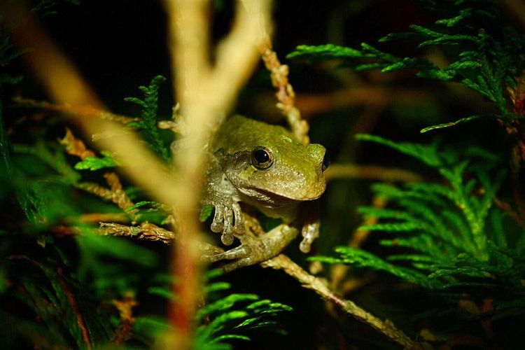 Close-Up Of Tree Frog On Plant