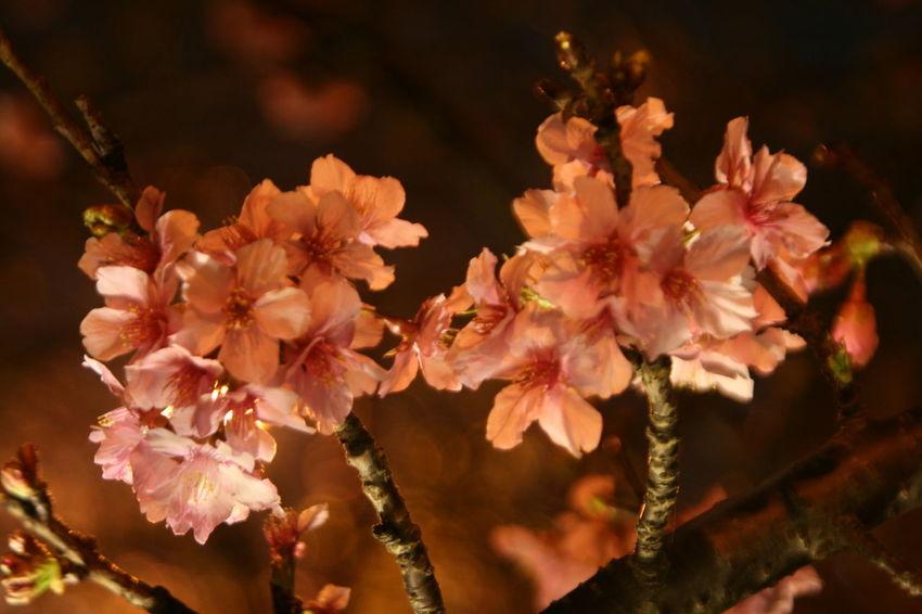 2017新竹公園櫻花季 Beauty In Nature Flower Growth Nature Outdoors Tree