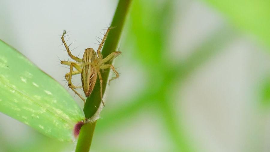 Lynch spider