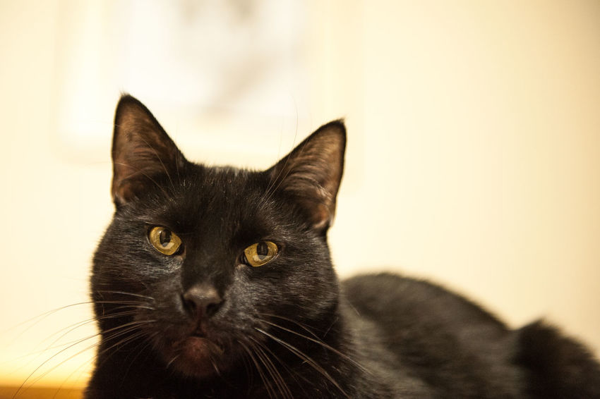 Dyzio, The lucky black CAT Alertness Animal Eye Animal Head  Animal Themes Black Cat Close-up Domestic Animals Domestic Cat Eyes Feline Focus On Foreground Indoors  Looking At Camera Mammal No People One Animal Pets Portrait Snout Staring Whisker Whiskers Zoology