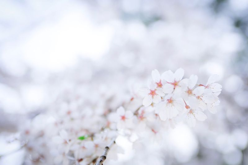 Fragility Beauty In Nature Flower Freshness Plant Flowering Plant Vulnerability  Blossom Springtime Tree Growth Day Cherry Blossom Nature Branch Close-up White Color No People Botany Focus On Foreground
