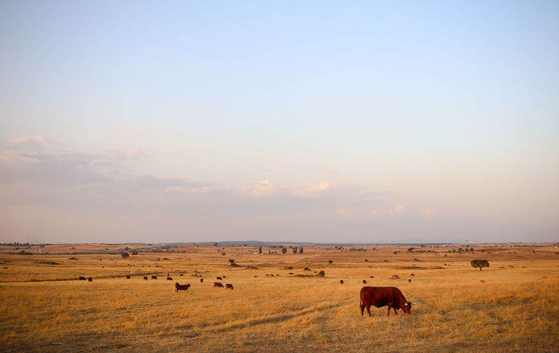 Bulls Grazing On Field Against Sky During Sunset