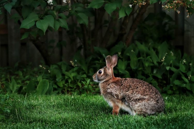 Here's one of the mommy bunnies looking for her baby Outdoors Backyard Photography Bunny  Nature Beauty In Nature Light And Shadow Fence Garden Ontario, Canada Full Length Animal Themes Grass Close-up Green Color Rabbit - Animal Animal Hair Blooming The Portraitist - 2018 EyeEm Awards The Great Outdoors - 2018 EyeEm Awards